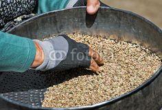 Pulitura della lenticchia a Castelluccio di Norcia (Umbria, Italy) © Pietro D'Antonio