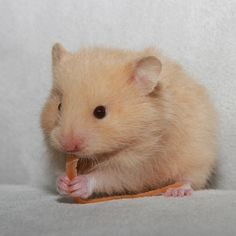 Cream baby Syrian Hamster like my hamster, Harry - absolutely gorgeous.