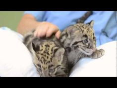 Clouded Leopard cubs play at Point Defiance Zoo & Aquarium. Annoying music. Super cute video.