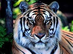fotos de tigres - Pesquisa Google