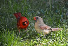 Mr and Mrs Cardinal by Judy M Tomlinson Photography