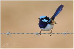 This is the male Blue Wren. The Jenny Wren is brown. I have 2 pair who come every day to bathe in the bird bath.