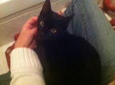 Olympe est une adorable chatonne de 5 mois toute noir avec un médaillon blanc.  Olympe est encore un peu timide , il faut être patient avec elle. Mais elle ronronne facilement et se laisse facilement caresser. Nos voix pour leurs droits (Essonne)