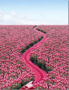 Pink Zipper through the tulips....