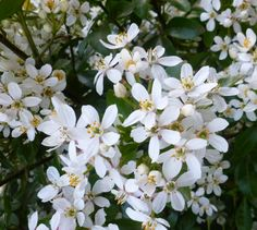 Orange Blossoms Orange Blossom, Blossoms, White Flowers, Drawings, Plants, Flowers, Sketches, Plant, Drawing
