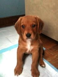 Hoopla is an adoptable Labrador Retriever Dog in Milford, OH. Hoopla is one of the Celebration pups. Mom is a beautiful red/white beagle/hound dog and her large pups look like a mix of beagle and lab...