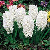 Carnegie Giant Fragrant Hyacinth