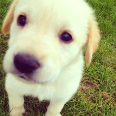 Our new puppy, golden retriever/lab mix Lilly<3