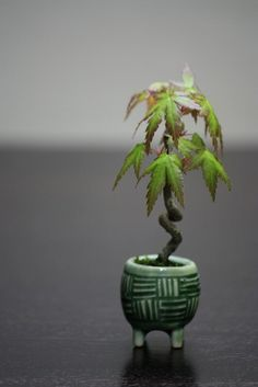 mini bonsai Japanese maple