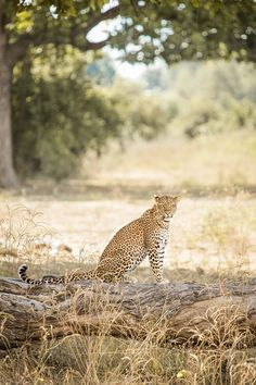 A leopardess looks for her cubs in the Nsefu sector of South Luangwa National Park, Zambia // photo by Philip Lee Harvey Wildlife Photography, Animal Photography, Amazing Animals, Majestic Animals, Baby Animals, Cute Animals, Africa Destinations, Holiday Destinations, Westerns