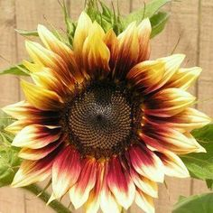 A Dyamic Looking Sunflower.
