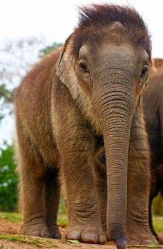 Rescue elephant calf 'Nunai' looking fuzzy at the International Fund for Animal Welfare Rehabilitation Center in Assam, India by S. Barbaruah/IFAW — in Kaziranga, Assam, India. http://www.ifaw.org/united-states/news/spotlight-india-pre-monsoon-showers-come-festival-bonus-little-elephants #Elephant_Rescue