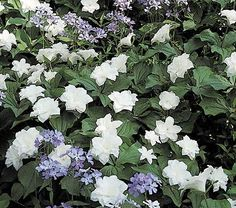 Trillium grandiflorum 'Flore Pleno' is an exquisite double form that produces pure white flowers in April and May that will draw gasps of delight from knowledgeable visitors. This naturally occurring sport is excruciatingly slow to propagate and we have a very small crop this year. Please order early.  Trilliums are spring-blooming wildflowers much prized by woodland gardeners for their delicate, 3-petaled flowers and distinctive foliage. Trilliums demand rich, slightly acid, woodsy soil…