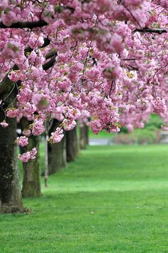Cherry Blossom, Brooklyn Botanic Garden, NYC