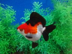 Tri Color Ryukin ( with too short fantail ) Fantail Goldfish, Goldfish Pond, Koi, Colorful Fish, Tropical Fish, Water Animals, Animals And Pets, Planted Aquarium, Aquarium Fish