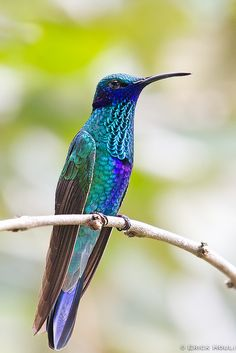 Violet Ear Hummingbird