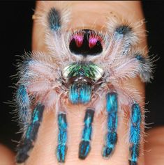 Representing The Invertebrates: Typhochlaena Seladonia<<<<this things fkn beautiful 💚💜💙 Spider Species, Insect Species, Cool Insects, Bugs And Insects, Beautiful Creatures, Animals Beautiful, Pet Tarantula, Tarantula Enclosure, Cool Bugs