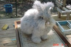 Angora Bunny: for fiber, compost poops and cuteness