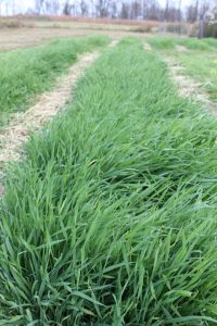 "Thick bright green annual rye, ready to be turned back into the soil as a ""green manure"" cover crop."