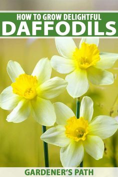 Are you tired of the drab days of winter? Spring is around the corner and lovely daffodils will be blooming! Narcissus Bulbs, Daffodil Bulbs, Narcissus Flower, Daffodil Flower, Daffodils, Types Of Flowers, Cut Flowers, Spring Flowers, Purple Flowers