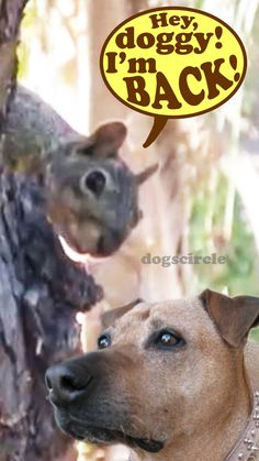 PET DOG versus WILD SQUIRREL (Part 2) ... Watch the VIDEO to see the FULL STORY of this PET DOG and this GRAY SQUIRREL Wild Animal at http://youtu.be/j5JlDCJwr4o?list=PLbTyrpn5TL2sIeKkOXV4VPwhkYYdBaAPq  WATCH more FUNNY DOGS ANIMALS videos at https://www.youtube.com/DOGSCIRCLE