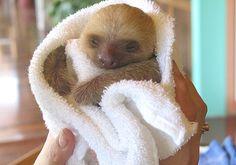 Baby choloepus (2 toed) sloth in a towel. Look shell rice :) eeeeeeek!! Xx