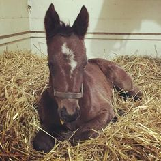 A filly for Pharoah! This little lady by #AmericanPharoah is enjoying her first weekend. #hndfoals #hillndalefarm Dam is Global Gold who is also dam of CHI champion/HOY Campione (Scat Daddy) .