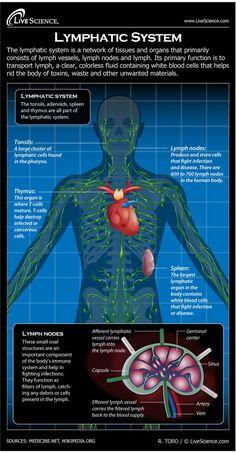 Lymph Node Diagram Of Body Tvetx9s2 Human Lymph Nodes