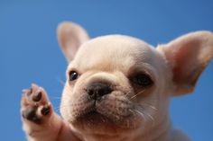 I want a French bulldog so cute!