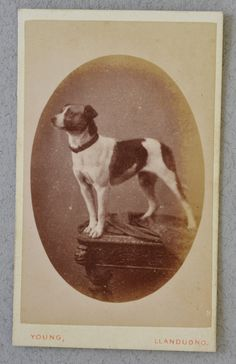 CDV Dog Photograph by Theantiquepooch on Etsy, $40.00