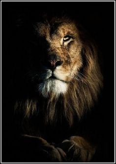 Lion in the dark always finds his light. Lion Images, Lion Pictures, Funny Animal Pictures, Lion King Art, Lion Art, Lion Wallpaper, Animal Wallpaper, Image Lion, Lion Photography