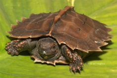 Now you can see the highly endangered baby Spiny Turtle at Tennessee Aquarium in action after reading all about them in our ZooBorn's Post on February 13. It's evident where this distinctive turtle gets it's name -- from the pointy, spiky-edged prongs on it's shell. In effect, it's likened to a walking pin cushion! It's also called a 'cog-wheel turtle'.