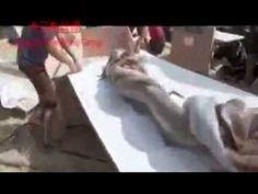العثور على عروس البحر في خليج  المكسيك