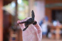 Happy #WorldTurtleDay! We need #turtles to survive! They're adorable and in many places they support tourism. http://www.conservation.org/projects/Pages/ecotourism-in-playa-viva-mexico-promotes-jobs-and-turtles.aspx Photo credit: © Mito Paz/Marine Photobank #conservation #activism #turtle #eco #ocean #oceans #cute #nature #peopleneednature