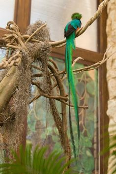 New pair of endangered quetzal birds in reproduction program at Xcaret