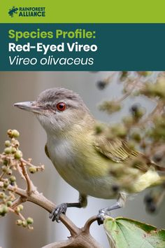 The red-eyed vireo is a small American songbird that migrates to South America for the winter months. More commonly heard than seen, these insect-eating birds are excellent at controlling pests. Click the image to learn more! Canopy Bed Frame, Tree Canopy, Canopy Tent, Screened Canopy, Canopy Outdoor, Animals Images, Animal Pictures, Swing Canopy Replacement, Deck Shade