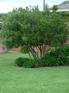 Landscape trees and shrubs privacy hedge Ideas Backyard Trees, Landscaping Trees, Privacy Landscaping, Backyard Privacy, Front Yard Landscaping, Natural Landscaping, Arborvitae Landscaping, Inexpensive Landscaping, Natural Fence