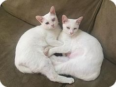 SPECIAL NEEDS! Domestic Shorthair Cat for adoption in Homewood, Alabama - Guten Tag meet Hansel & Gretal. They are completely inseparable because Hansel is blind & depends on his sister who is only partially blind. These sweet siblings are available at Friends of Rescue.