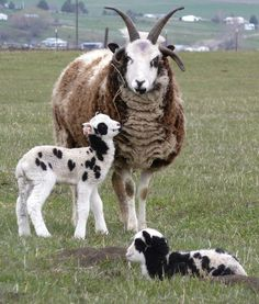 random patches, up to six horns: Jacob sheep