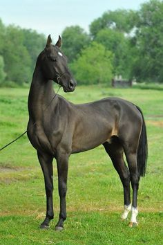 """Akhal-Teke -- """"a horse breed from Turkmenistan, where they are a national emblem. They have a reputation for speed and endurance, intelligence, and a distinctive metallic sheen."""" This dark color doesn't show the sheen as much."""