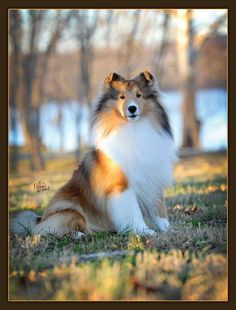 Sheltie. simply beautiful