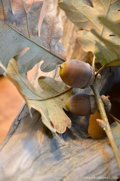 acorn -- Mighty oaks from little acorns grow