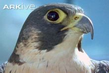 Peregrine falcon (Falco peregrinus), I'm speechless, this is the most assertive, atheletic, aggressive, cunning , smart and agile bird I've ever seen.