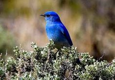 Mountain Bluebird--the males are really this amazing color--we've started seeing them here in the spring during nesting season