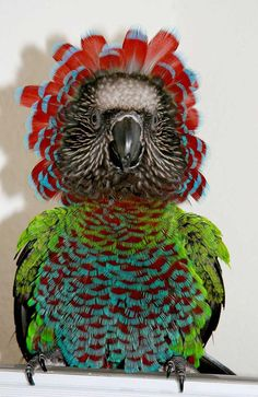The colourful Red-fan Parrot has elongated neck feathers which it can erect forming a spectacular mane around its head. It's thought they do this to increase their apparent size scaring off rivals and potential predators alike. http://ift.tt/2dG72Z3