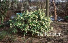 ribes laurifolium   Ribes laurifolium