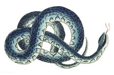 Fasciated snake or Blue snake or wampum snake illustration from The Naturalist's Miscellany (1789-1813) by George Shaw (1751-1813).
