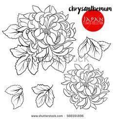 Chrysanthemum flowers. Stock line vector illustration botanic flowers. Outline drawing.