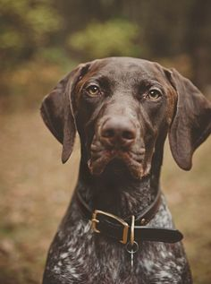© Patrick Hadley Photography. Fynn, the German shorthaired pointer