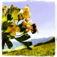 Die fleißigen Bienchen summen wieder durchs Weinviertel.